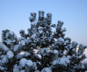 Pines_1
